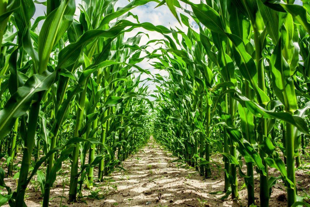 High corn crops